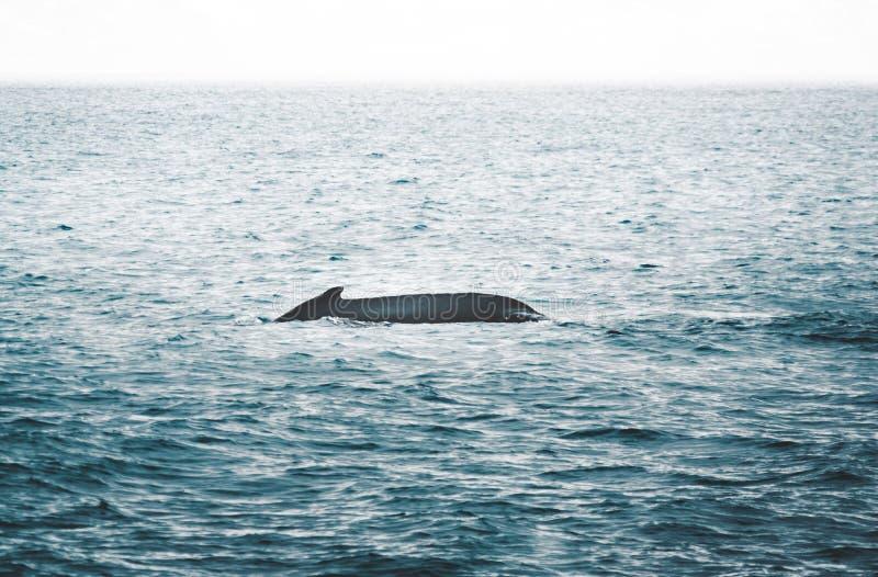 Sluit mening die van de staart van gebocheldewalvis in het koude water van de Atlantische Oceaan in IJsland omhoog springen Conce stock foto's