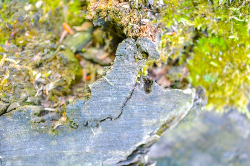 Sluit mening van oude stomp die met groen mos in het bos omhoog wordt behandeld stock foto