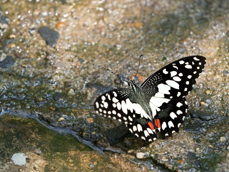 Sluit Mooie Vlinder zuigen omhoog Water van de Grond, Selectieve Nadruk royalty-vrije stock fotografie