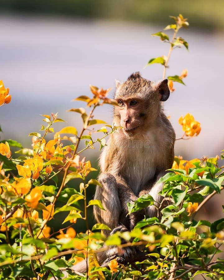 Sluit omhoog aap stock fotografie
