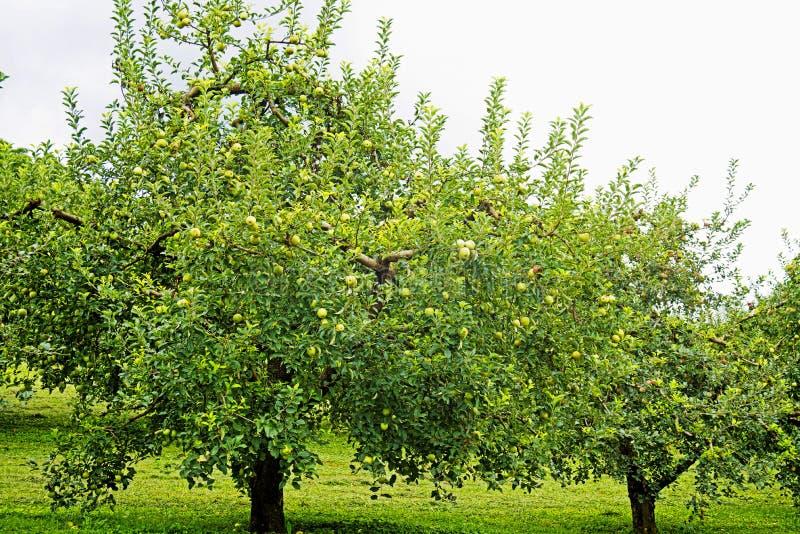 Sluit omhoog appelboom met rijpe appelen wordt behandeld die royalty-vrije stock foto's