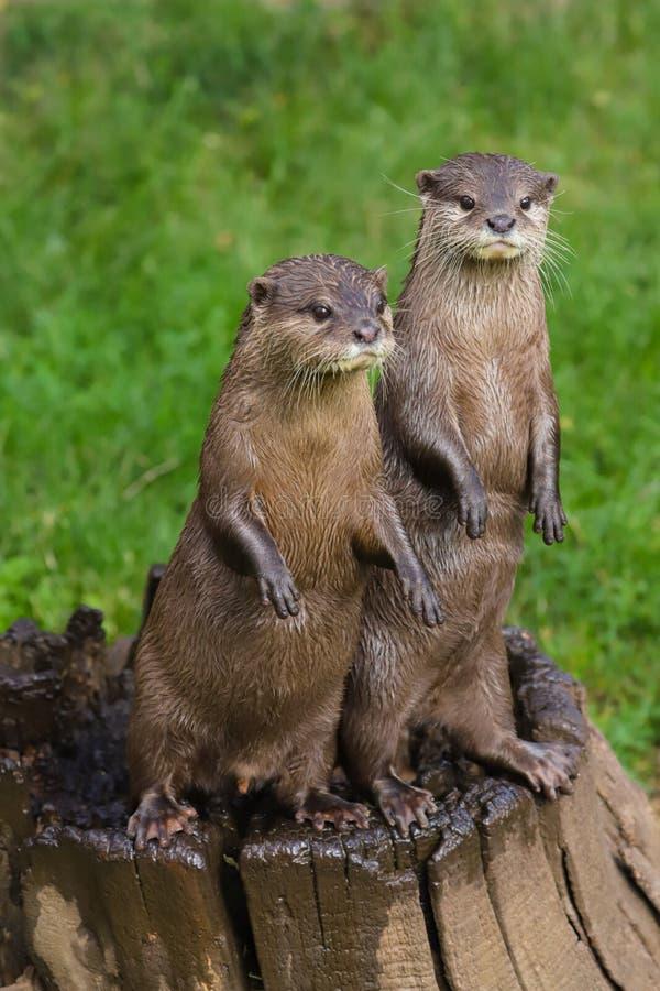 Sluit omhoog Aziatische Korte Gekrabde Otter cinerea Amblonyx royalty-vrije stock afbeeldingen