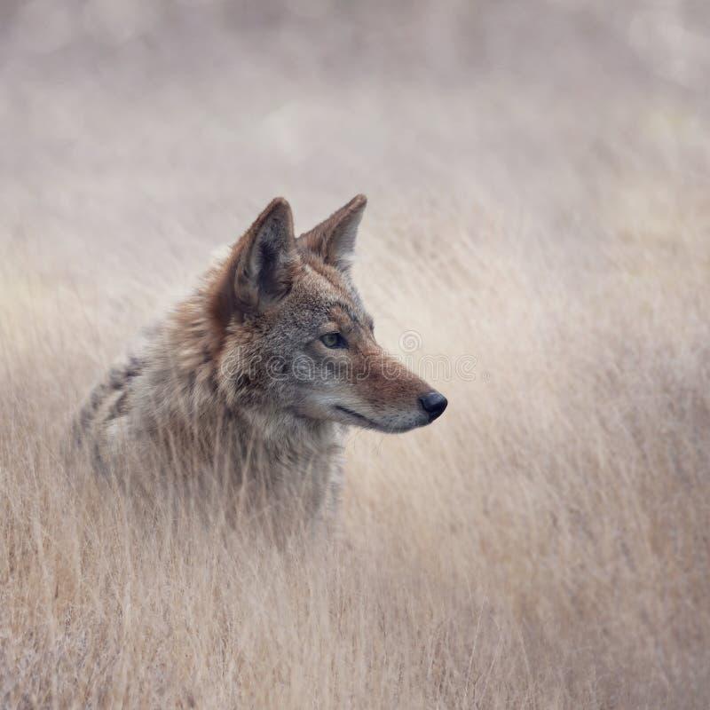 Sluit omhoog beeld van Coyote royalty-vrije stock fotografie