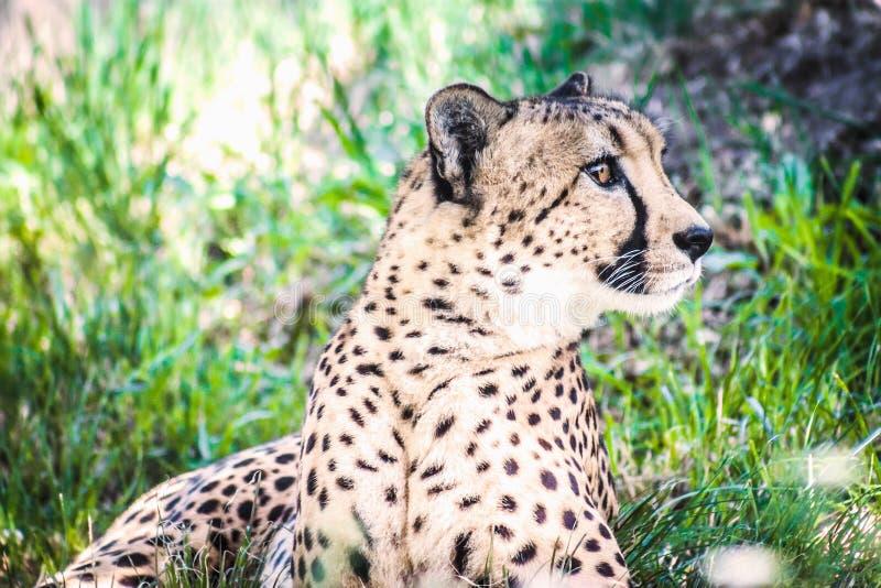 Sluit omhoog beeld van een Afrikaanse Jachtluipaard royalty-vrije stock afbeeldingen