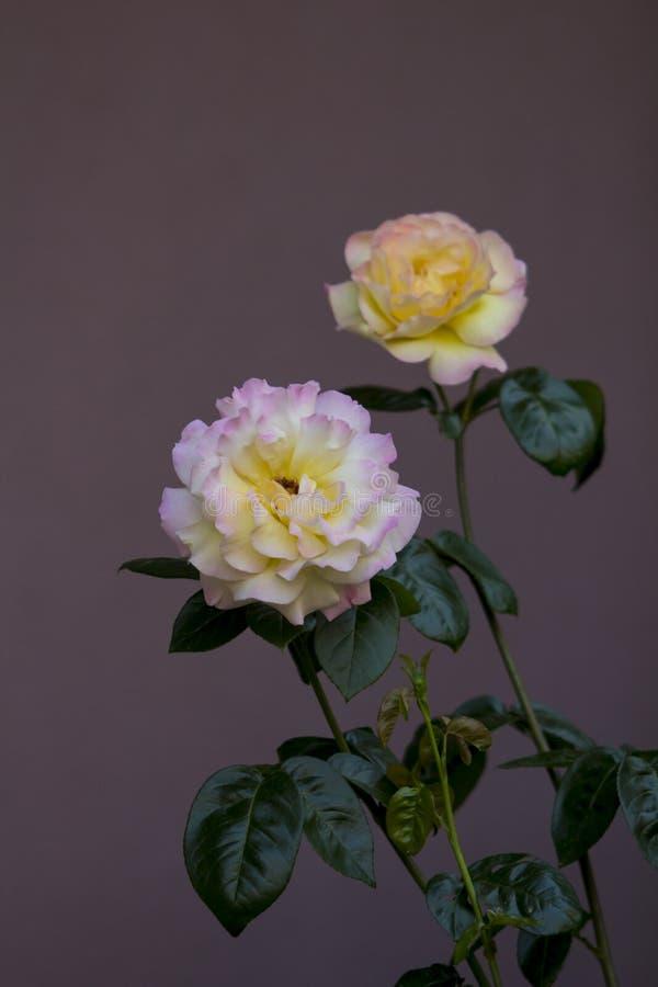 Sluit omhoog beeld van een paar damastrozen met roze-gele bladeren, stam en groene bladeren royalty-vrije stock foto's