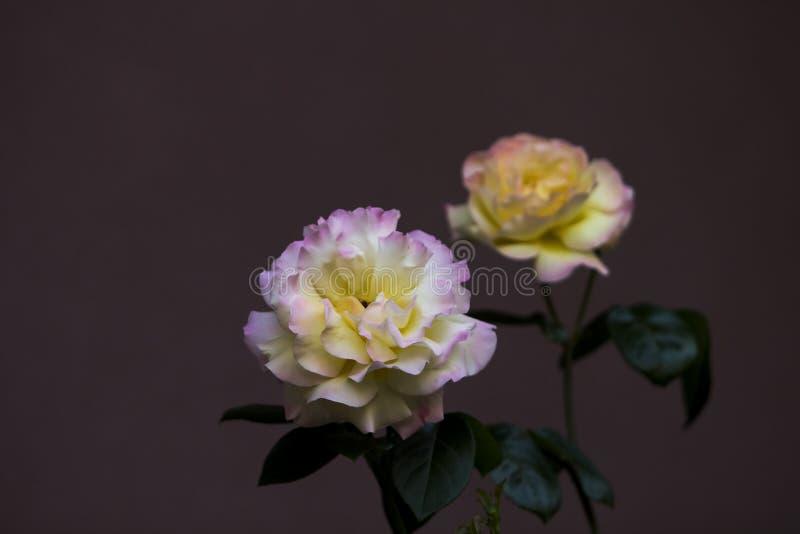 Sluit omhoog beeld van een paar damastrozen met roze-gele bladeren, stock foto