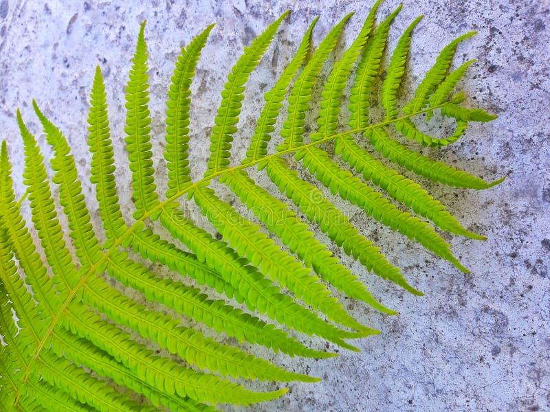 Sluit omhoog beeld van groen varenblad op steenachtergrond stock afbeelding