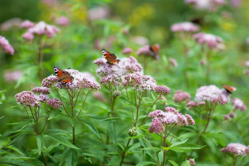 Sluit omhoog beeld van verscheidene vlinders in bloemen stock foto's