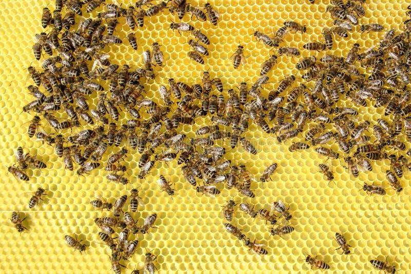Sluit omhoog bijenlandbouwbedrijf in doos stock foto's