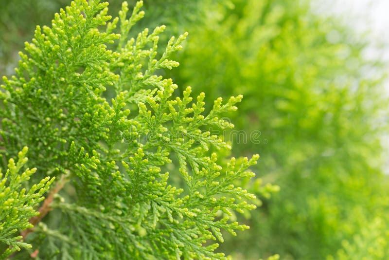 Sluit omhoog bladeren van pijnboomboom of Oosterse Arborvitae met ruimte royalty-vrije stock afbeelding