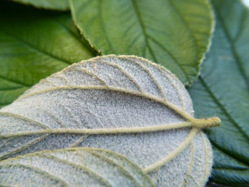 sluit omhoog bladeren van zyziphusmauritiana voor gezondheidstherapie met achtergrond stock afbeeldingen