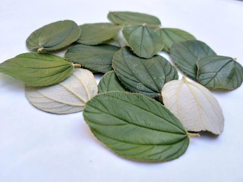 sluit omhoog bladeren van zyziphusmauritiana voor gezondheidstherapie met achtergrond stock fotografie
