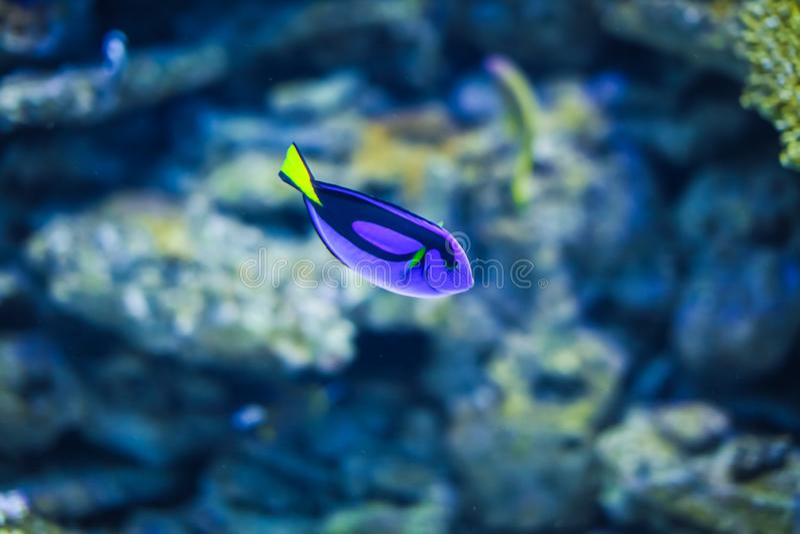 Sluit omhoog Blauw Tang Fish De vis is vriendelijk van cichlids die binnen ziet wateraquarium zwemmen stock fotografie