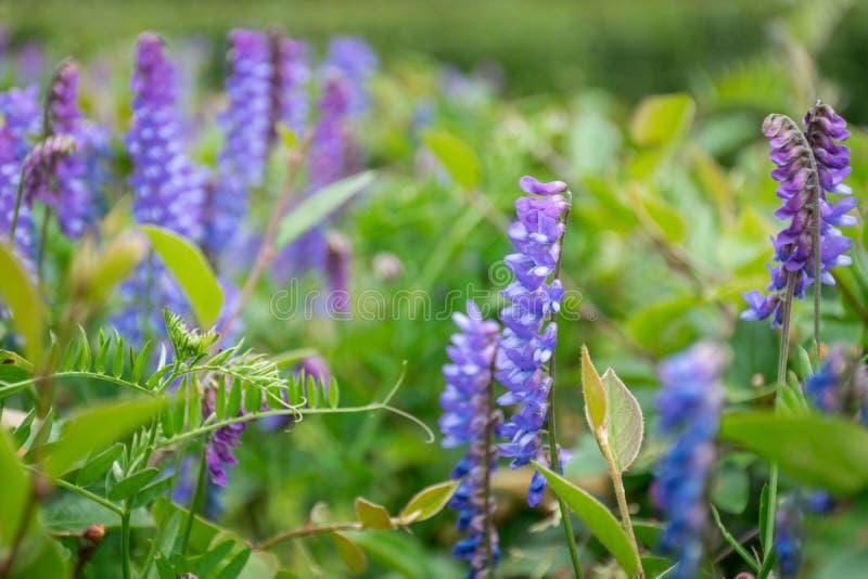 Sluit omhoog blauw-violette bloemen in tuin stock fotografie