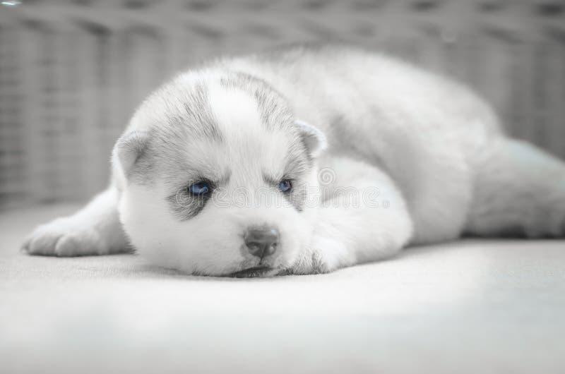 Sluit omhoog blauwe ogen van leuk puppy stock fotografie