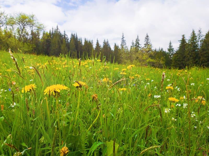 Sluit omhoog bloeiend geel paardebloemgebied De prachtige achtergrond van de de lentescène, bloeiende groene grasweide, Karpatisc royalty-vrije stock afbeeldingen