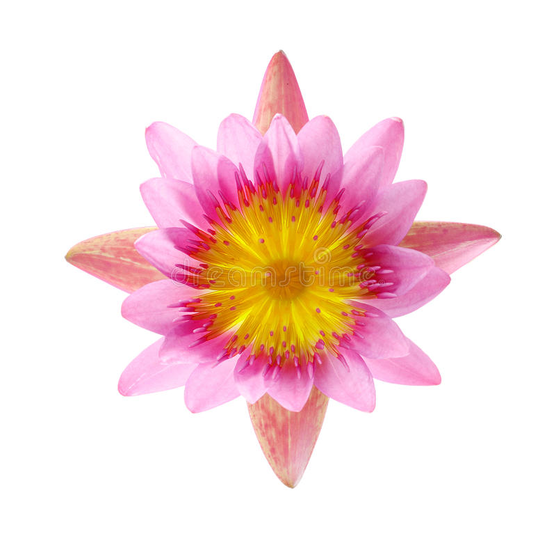 Sluit omhoog bloeiende die waterlelie of lotusbloembloem op wit wordt geïsoleerd stock afbeelding