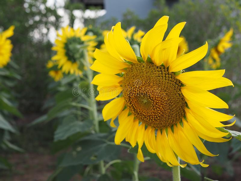 Sluit omhoog bloeiende zonnebloem, heldere gele zonnebloem stock afbeelding