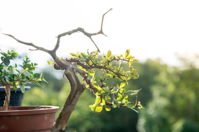 Sluit omhoog bonsai met licht bokeh stock fotografie