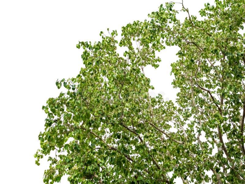 Sluit omhoog boommilieu in bos groene bladeren en tak mooi op witte achtergrond royalty-vrije stock fotografie