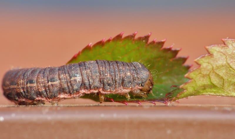 Sluit omhoog Caterpillar met Bruine en Zwarte Patronen royalty-vrije stock afbeelding
