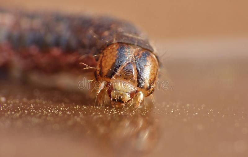 Sluit omhoog Caterpillar met Bruine en Zwarte Patronen stock foto