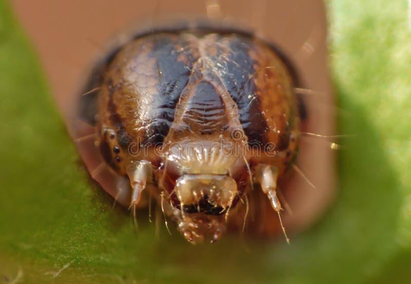 Sluit omhoog Caterpillar met Bruine en Zwarte Patronen stock afbeeldingen