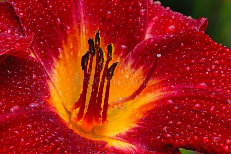 Sluit omhoog centrum van rood daylilly in regenonweer royalty-vrije stock foto's