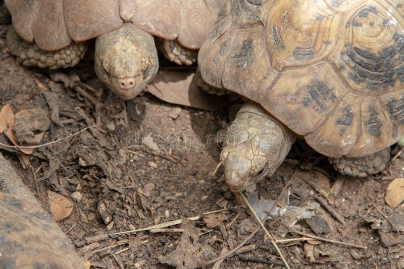 Sluit omhoog de Afrikaanse aangespoorde jonge leeftijd van schildpaddenparen stock foto