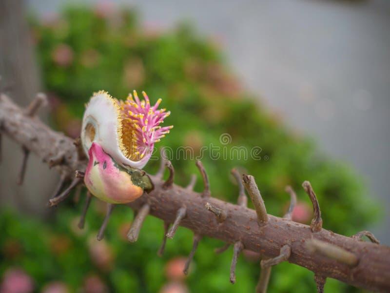 Sluit omhoog de bloem van de kanonskogelboom royalty-vrije stock afbeelding