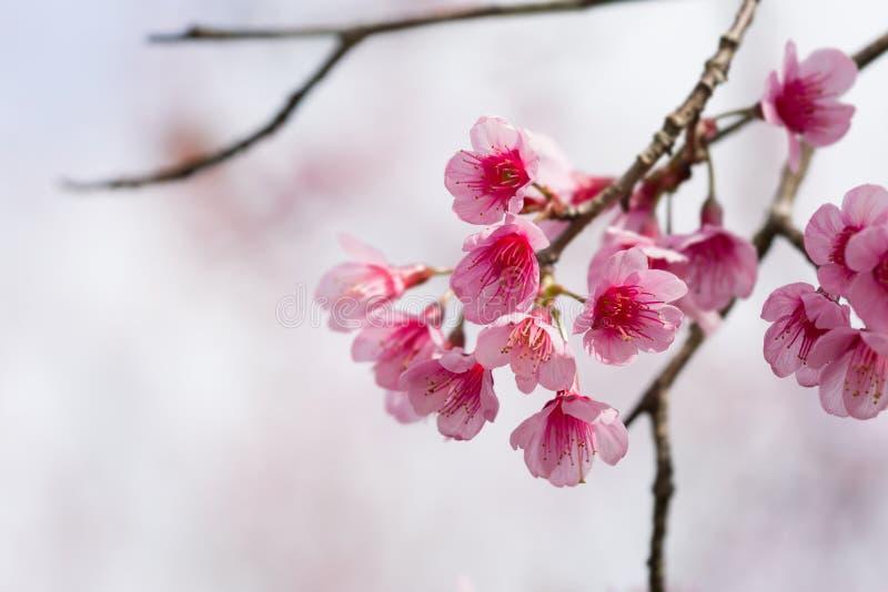Sluit omhoog de bloem van schoonheidssakura in spingtime stock afbeelding