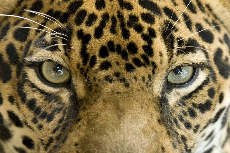 Sluit omhoog de grote kat van de ogenjaguar, Costa Rica stock afbeeldingen