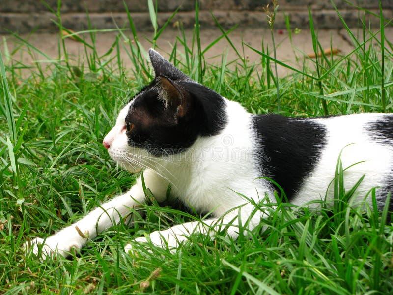 Sluit omhoog de Knappe Thaise Zwarte Witte Kat op het grasgebied binnen royalty-vrije stock foto's