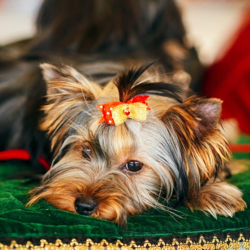 Sluit omhoog de Leuke Hond van Yorkshire Terrier royalty-vrije stock fotografie