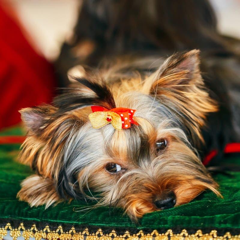 Sluit omhoog de Leuke Hond van Yorkshire Terrier stock foto's