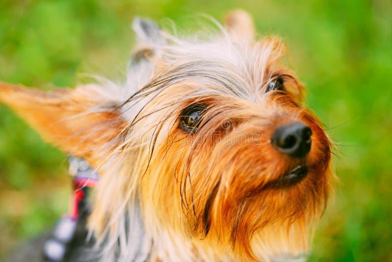 Sluit omhoog de Leuke Hond van Yorkshire Terrier Openlucht stock foto's