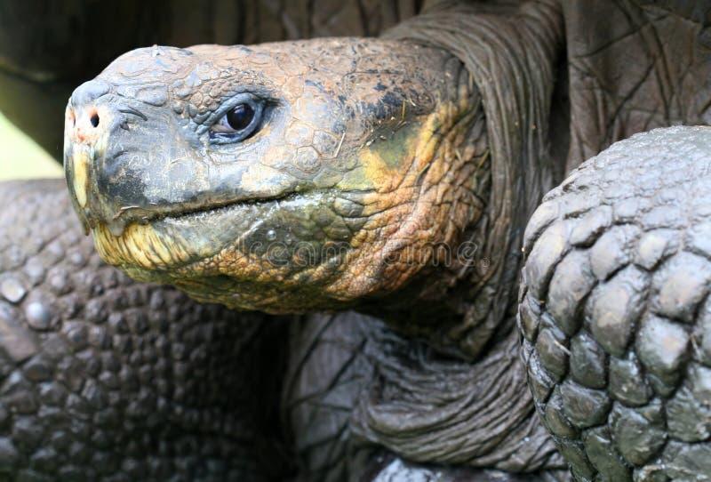 Sluit omhoog de ReuzeSchildpad van de Galapagos royalty-vrije stock foto's