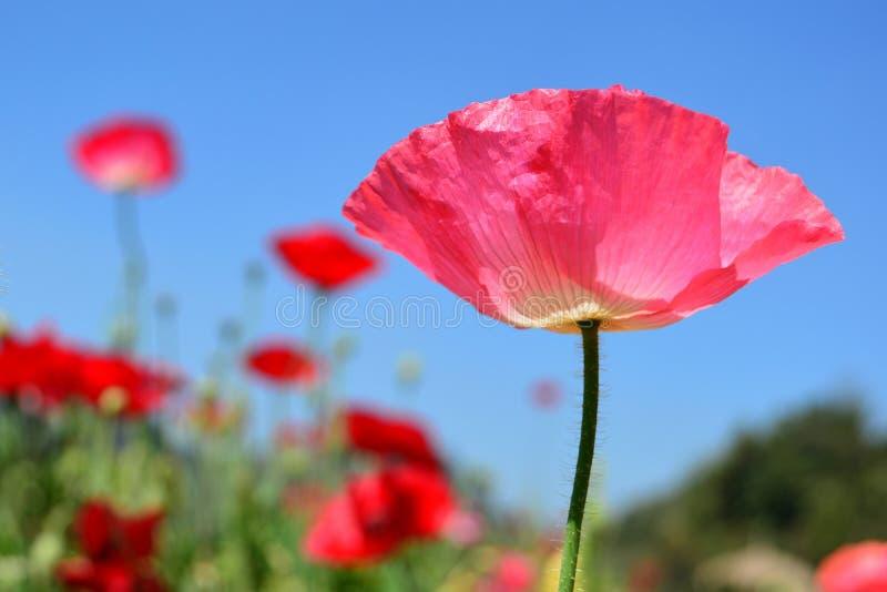 Sluit omhoog de roze bloem van papavershirley en blauwe hemelachtergrond royalty-vrije stock foto's