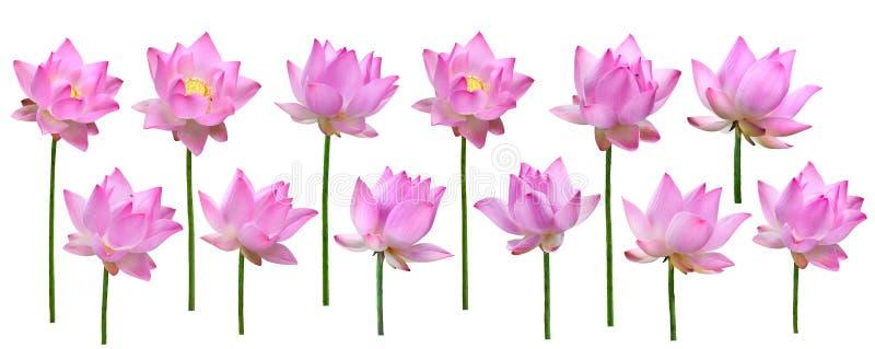 Sluit omhoog de roze hoge geïsoleerde resolutie van de lotusbloembloem over witte bac royalty-vrije stock afbeelding