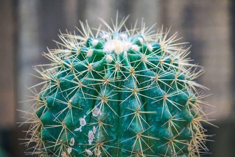 Sluit omhoog de scherpe cactus van het stekels groene gouden vat royalty-vrije stock afbeeldingen