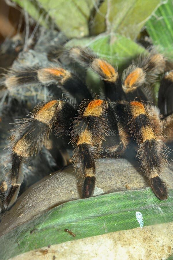 Sluit omhoog de spin van de benentarantula, Brachypelma Boehmei stock foto