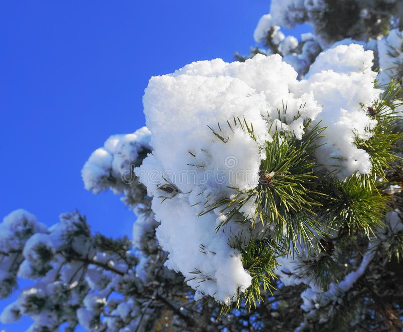 Sluit omhoog de tak van de pijnboomboom met sneeuw tegen blauwe hemelachtergrond die wordt behandeld royalty-vrije stock foto