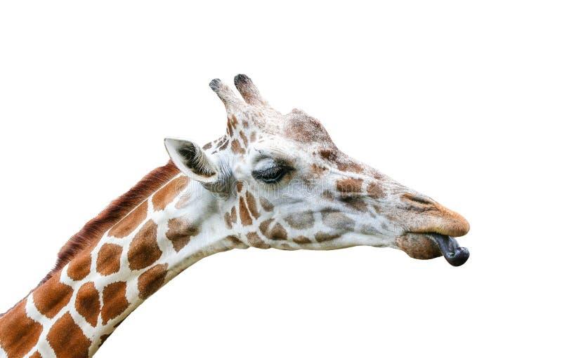 Sluit omhoog de tongen van de girafstok uit op een witte achtergrond met het knippen van weg royalty-vrije stock fotografie