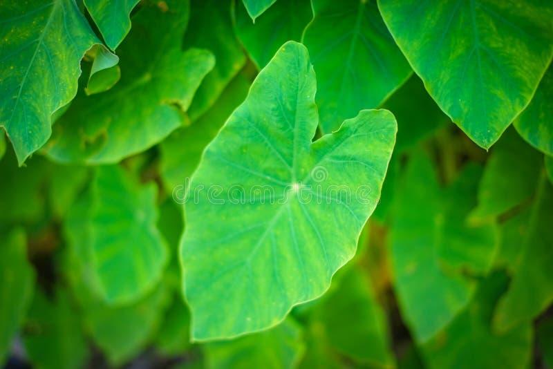 Sluit omhoog de Tropische achtergrond van de caladiumtextuur van het aard groene blad met waterdaling op bladerenachtergrond royalty-vrije stock afbeelding