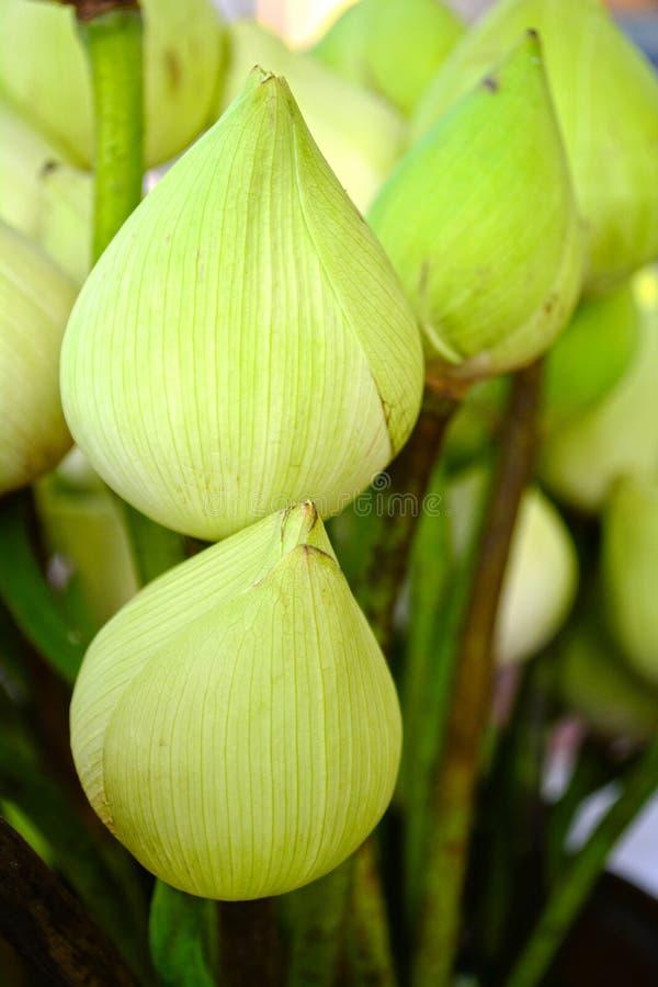 Sluit omhoog de witte knop van de lotusbloembloem royalty-vrije stock foto's
