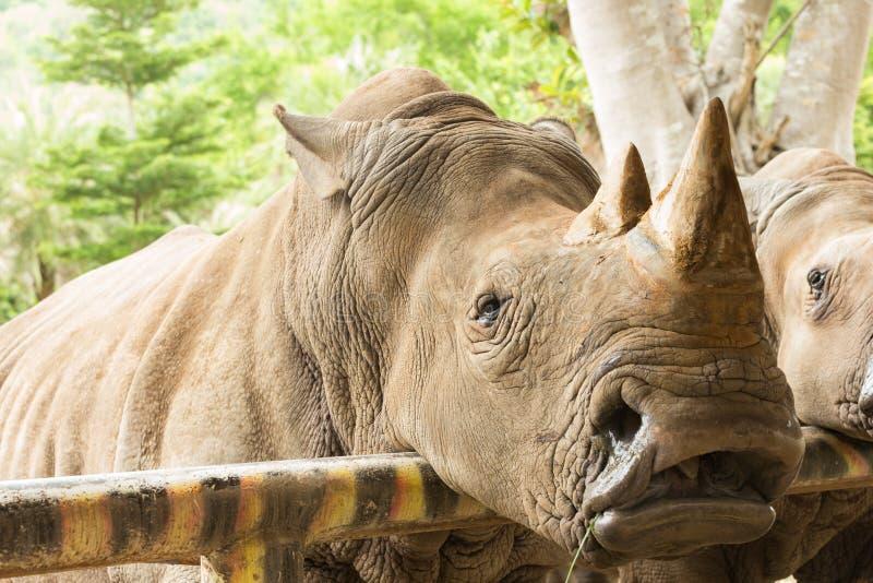 Sluit omhoog de witte rinoceros royalty-vrije stock afbeeldingen
