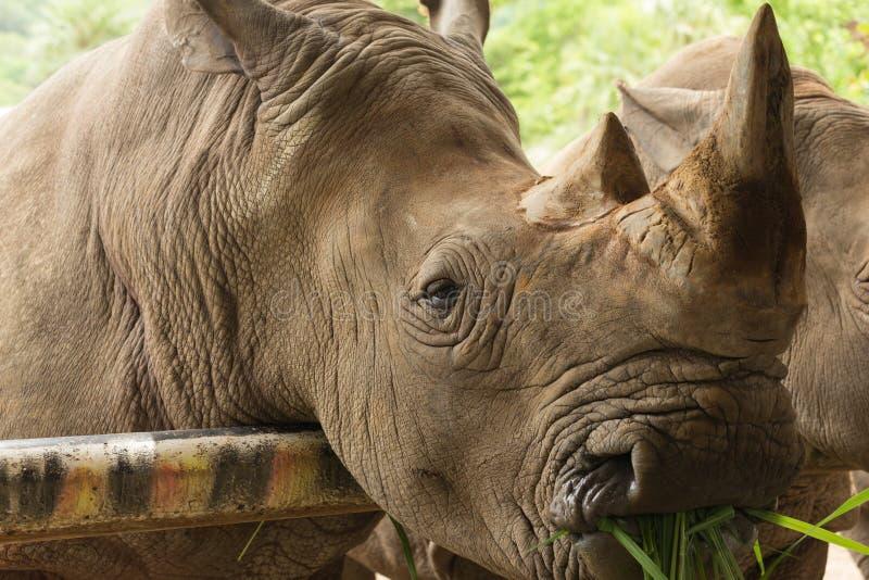 Sluit omhoog de witte rinoceros etend gras royalty-vrije stock fotografie