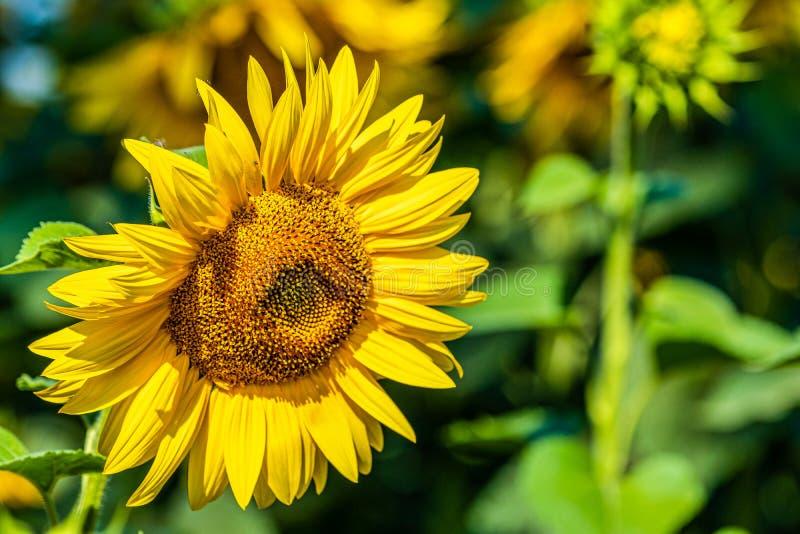 Sluit omhoog de zonnebloemen op het gebied stock afbeeldingen