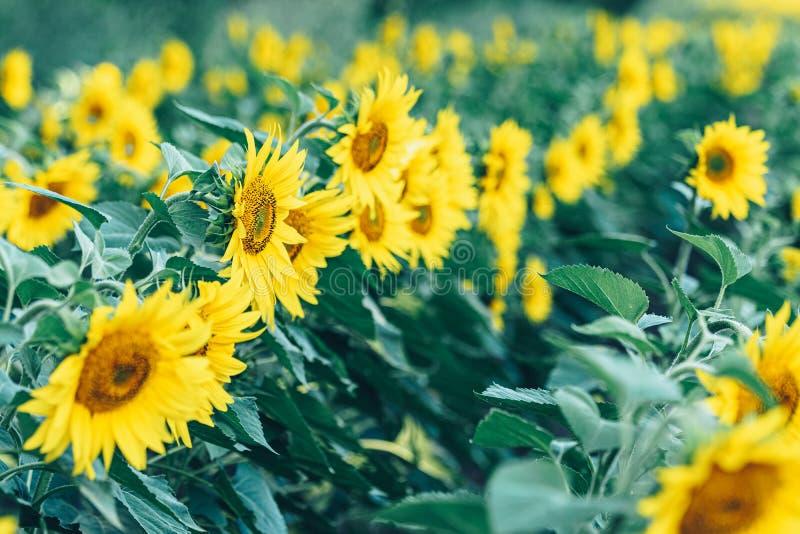 Sluit omhoog de zonnebloemen op het gebied royalty-vrije stock afbeelding