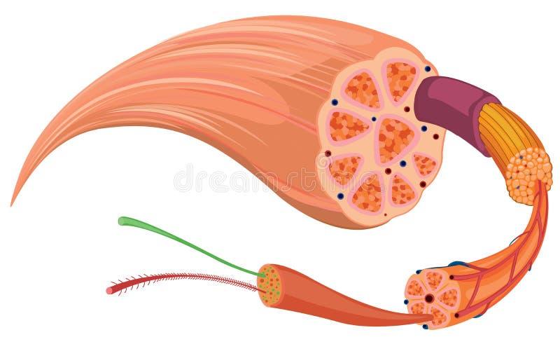 Sluit omhoog diagram van weefsel vector illustratie